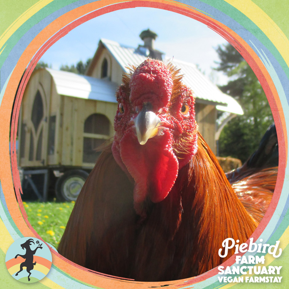 chicken rescue farm sanctuary
